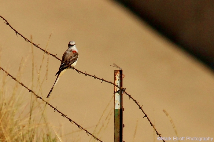 scissor-tailed-flycatcher-101-1217x809