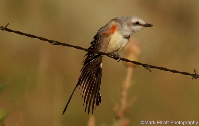 scissor-tailed-flycatcher-104-1100x700