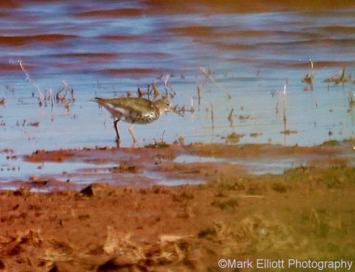 spotted-sandpiper-837x643