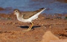 spotted-sandpiper-juvenile-7-1280x813
