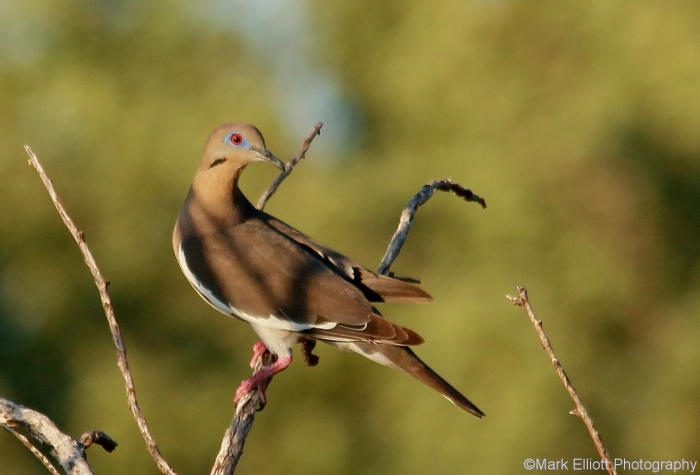 white-winged-dove-3-1280x870