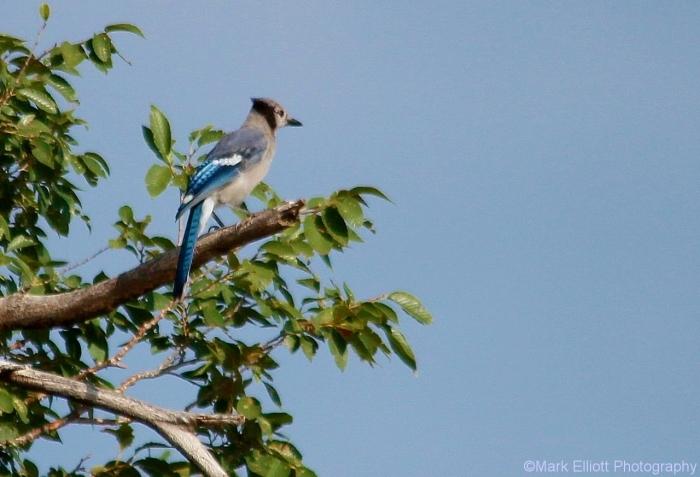 blue-jay-36-1280x873