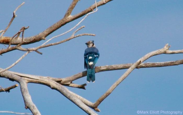 blue-jay-40-1280x804