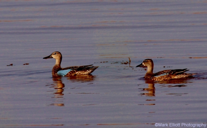 blue-winged-teal-14-1280x792
