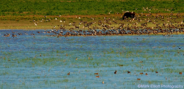 blue-winged-teal-and-unidentified-wader-american-avocets-northern-shoveler-2-1280x624