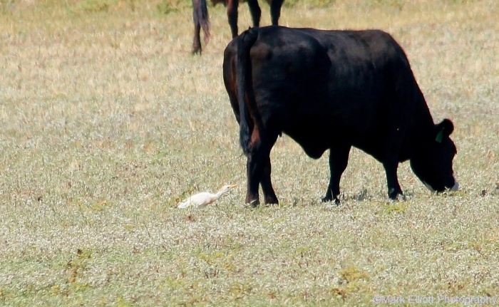 cattle-egret-1280x789