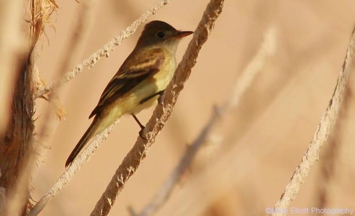willow-flycatcher-2-1280x779