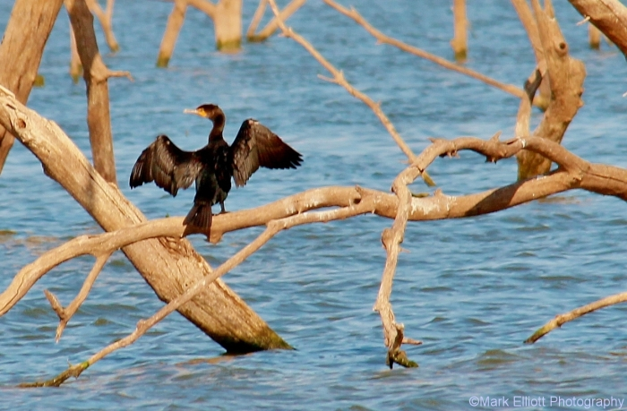double-crested-cormorant-1280x840