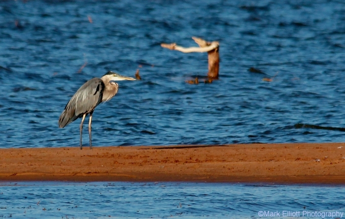 great-blue-heron-92-1280x815
