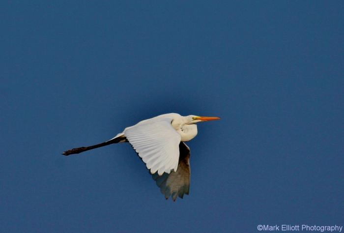 great-egret-42-1280x867