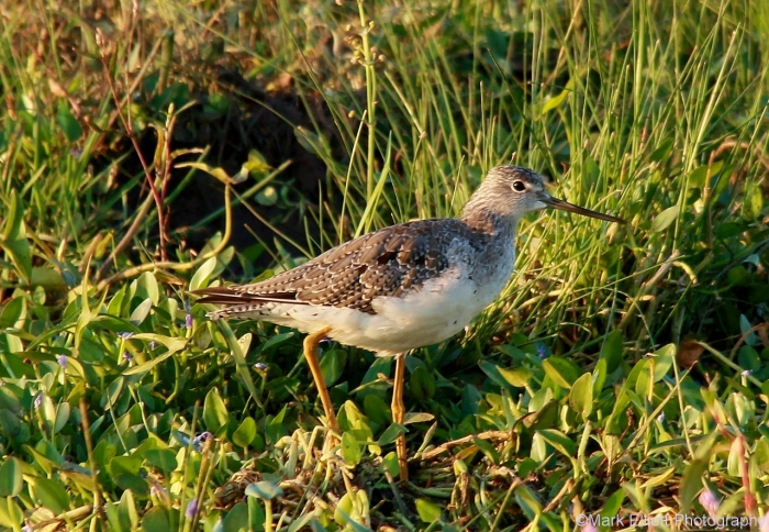 greater-yellowlegs-40-1280x886