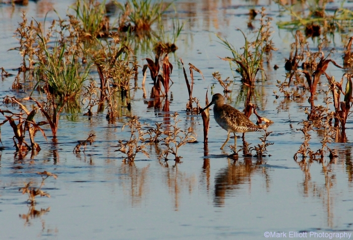 long-billed-dowitcher-9-1280x869