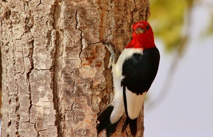 red-headed-woodpecker-59-1280x829