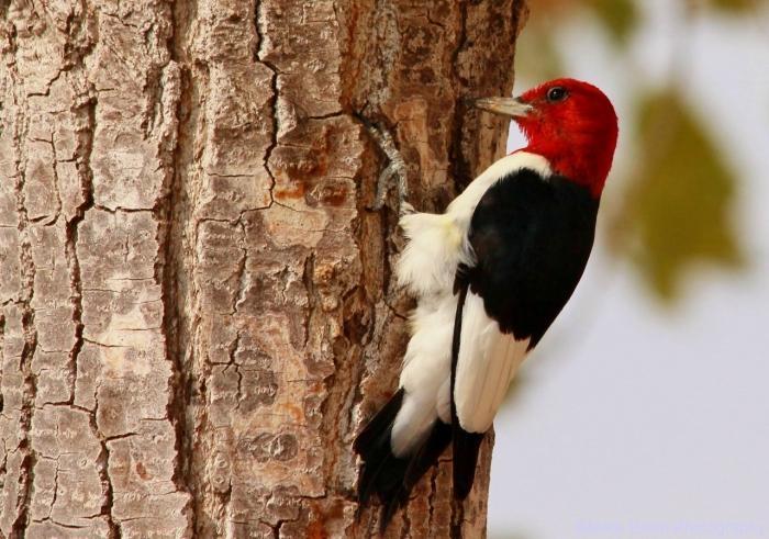 red-headed-woodpecker-61-1280x899