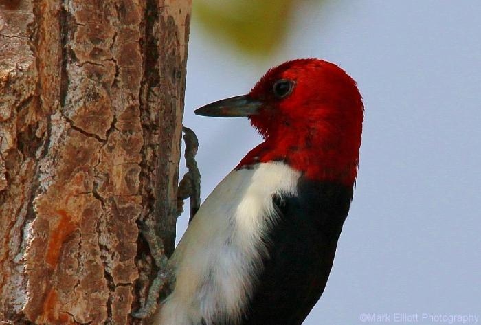 red-headed-woodpecker-70-1280x865