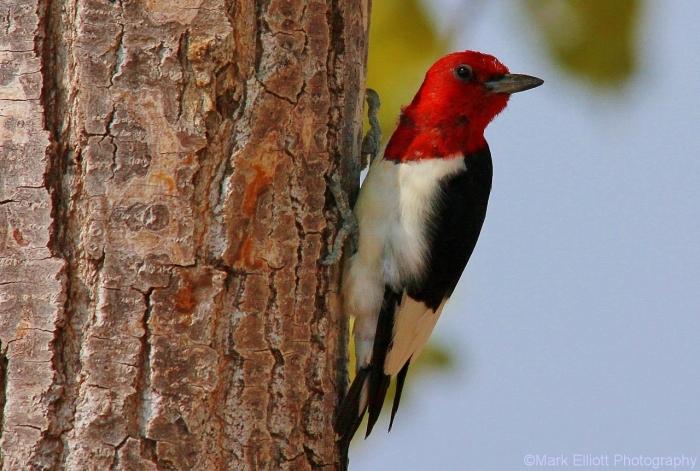 red-headed-woodpecker-73-1280x862