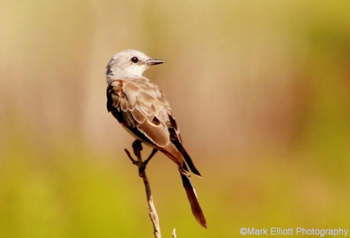 scissor-tailed-flycatcher-3-1280x910