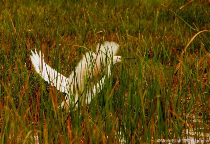 snowy-egret-6-1280x879
