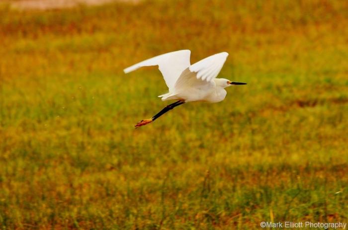 snowy-egret-7-1280x845
