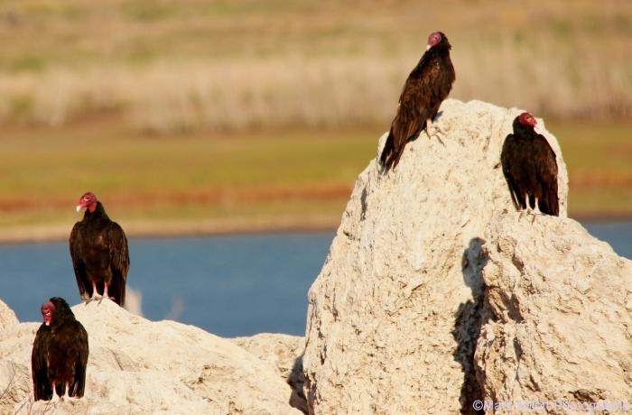 turkey-vulture-1280x842