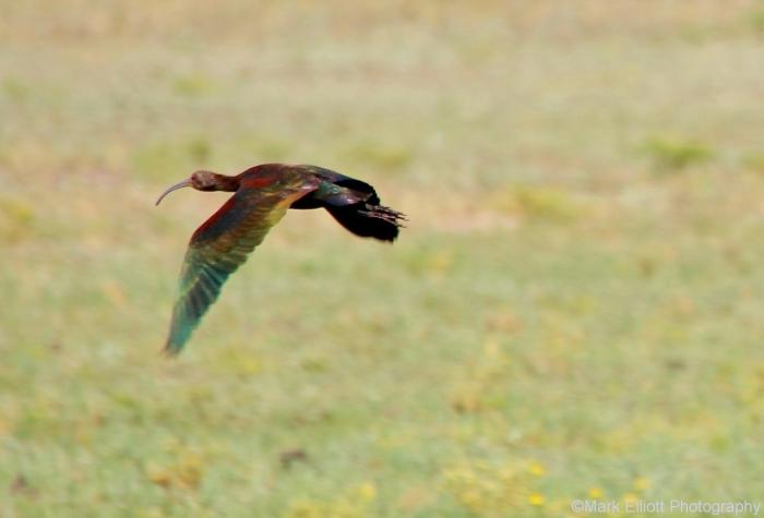 white-faced-ibis-27-1280x869