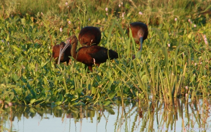 white-faced-ibis-5-1280x803