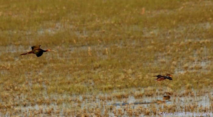 white-faced-ibis-and-northern-shoveler-1280x705