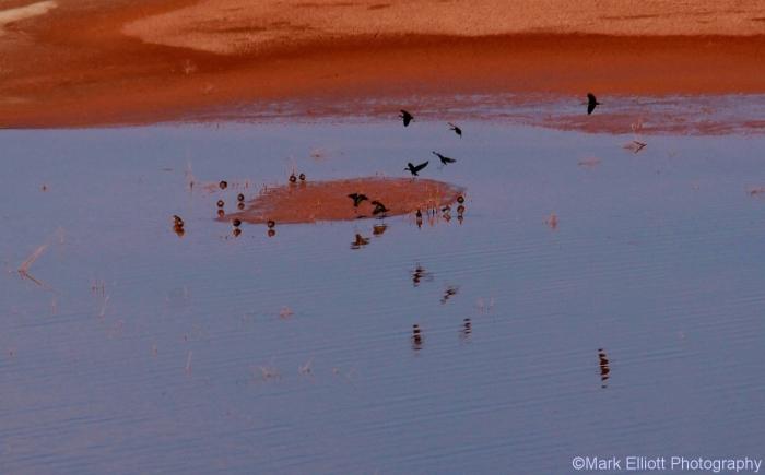 white-faced-ibis-and-mallard-1280x796