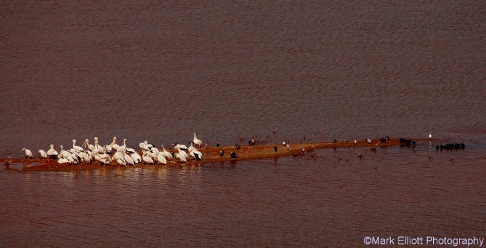 amereican-white-pelican-double-crested-cormorant-ring-billed-gull-american-coot-1280x656