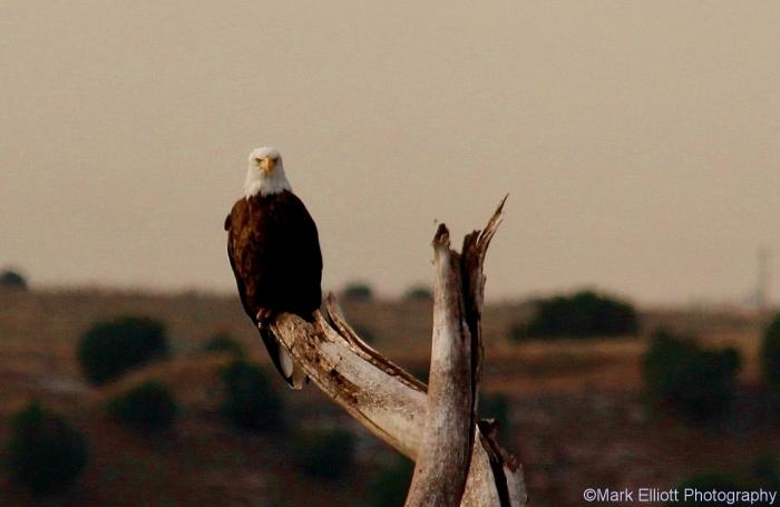 bald-eagle-350-1280x833