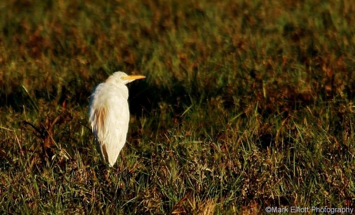 cattle-egret-1280x778