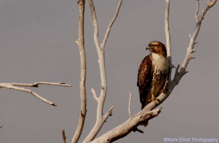 red-tailed-hawk-106-1280x834