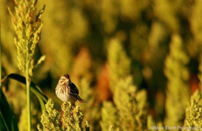 song-sparrow-22-1280x831