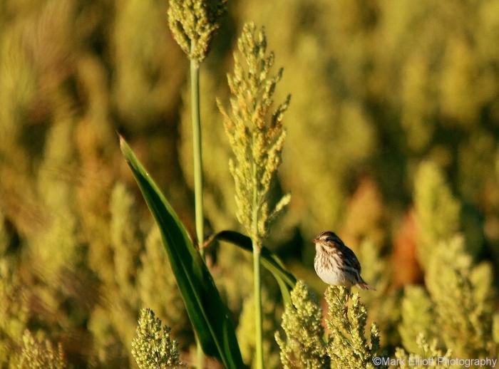 song-sparrow-6-1280x949
