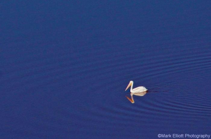 american-white-pelican-2-1280x844