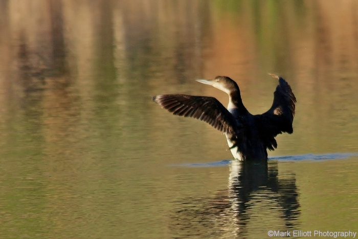 common-loon-46-1280x854