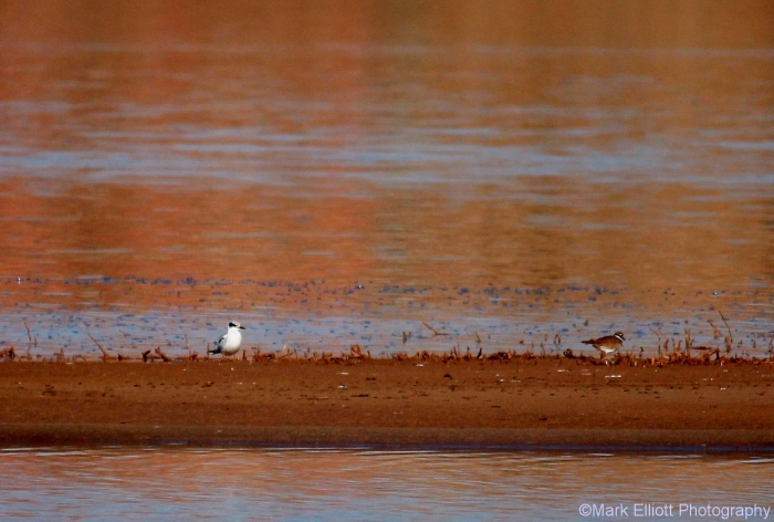 foresters-tern-killdeer-1280x864