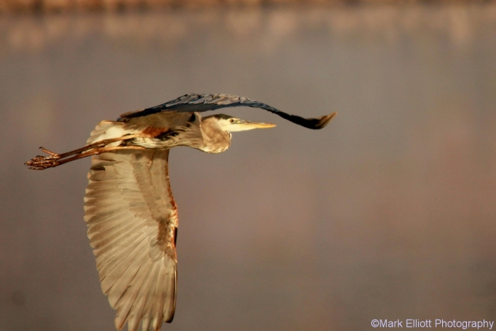 great-blue-heron-128-1280x854