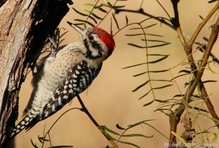 ladder-backed-woodpecker-118-1280x867
