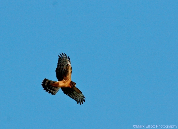northern-harrier-18-1280x928