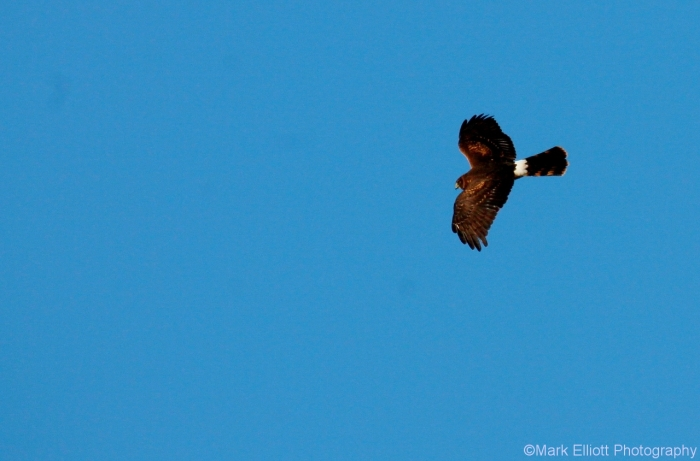 northern-harrier-19-1280x844