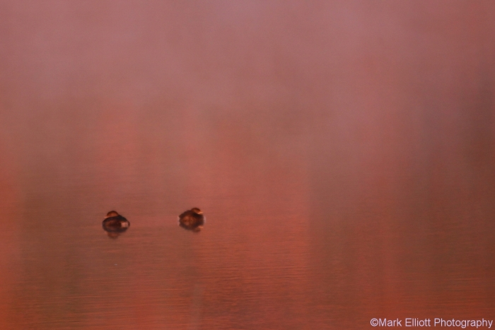 pied-billed-grebe-2-1280x854