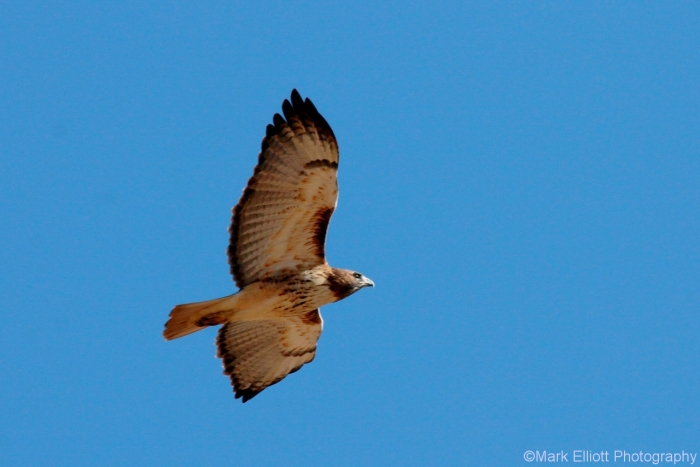 red-tailed-hawk-110-1280x855