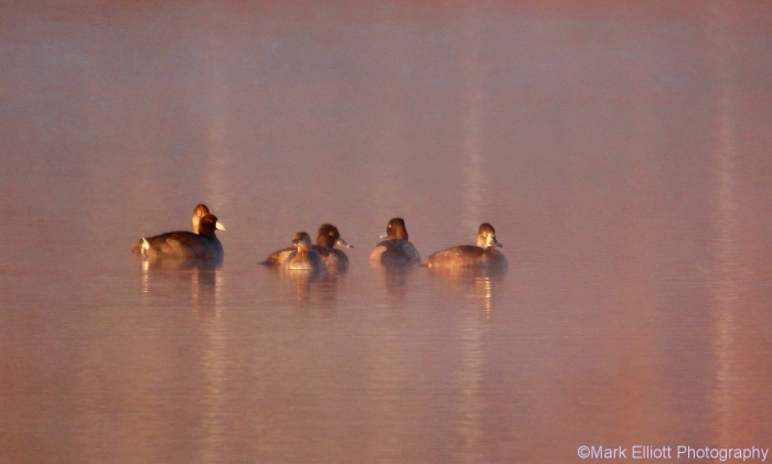 ring-necked-duck-pied-billed-grebe-american-coot-5-1280x770