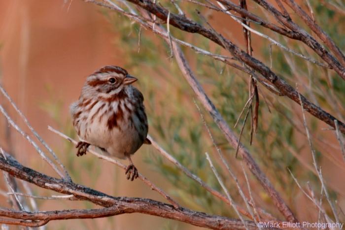 song-sparrow-27-1280x854_0