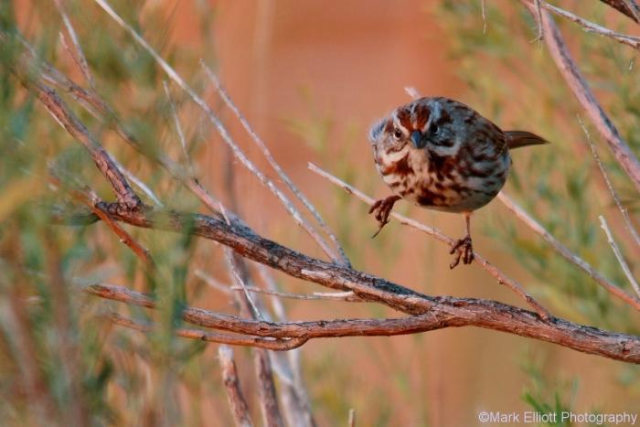 song-sparrow-30-1280x854