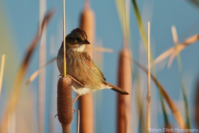 Swamp-sparrow-1280x854