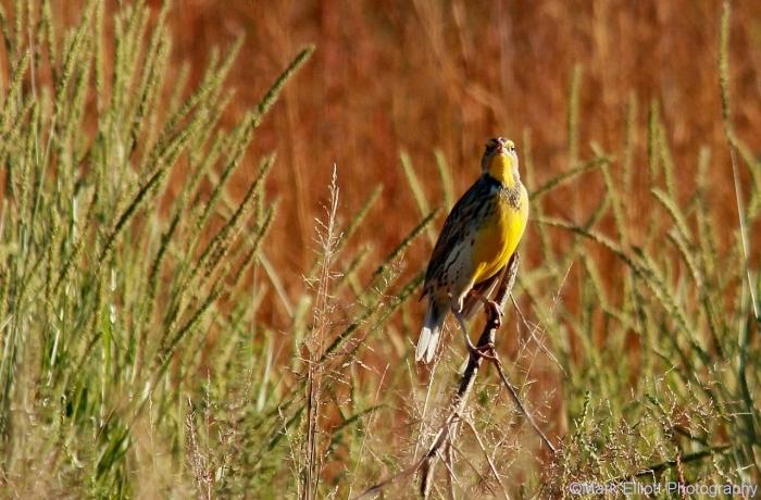 western-meadowlark-38-1280x842