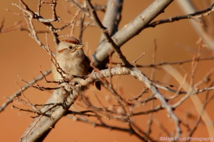 american-tree-sparrow-6-1280x854