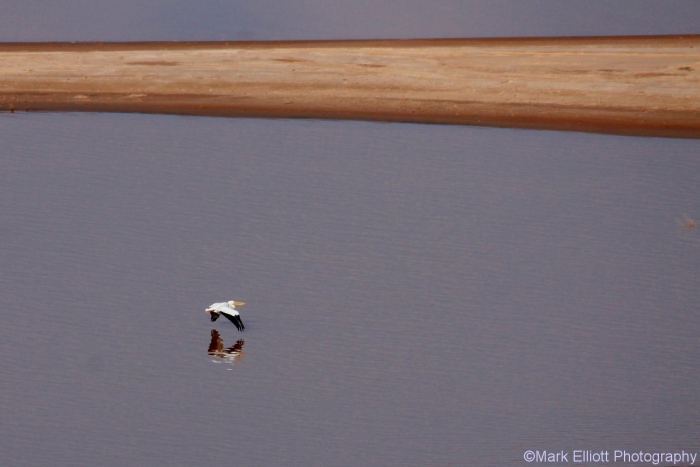 american-white-pelican-17-1280x855